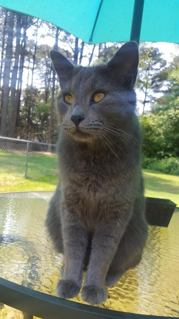 Back Home Cat - Russian Blue - Norcross, GA, USA 30093 ...