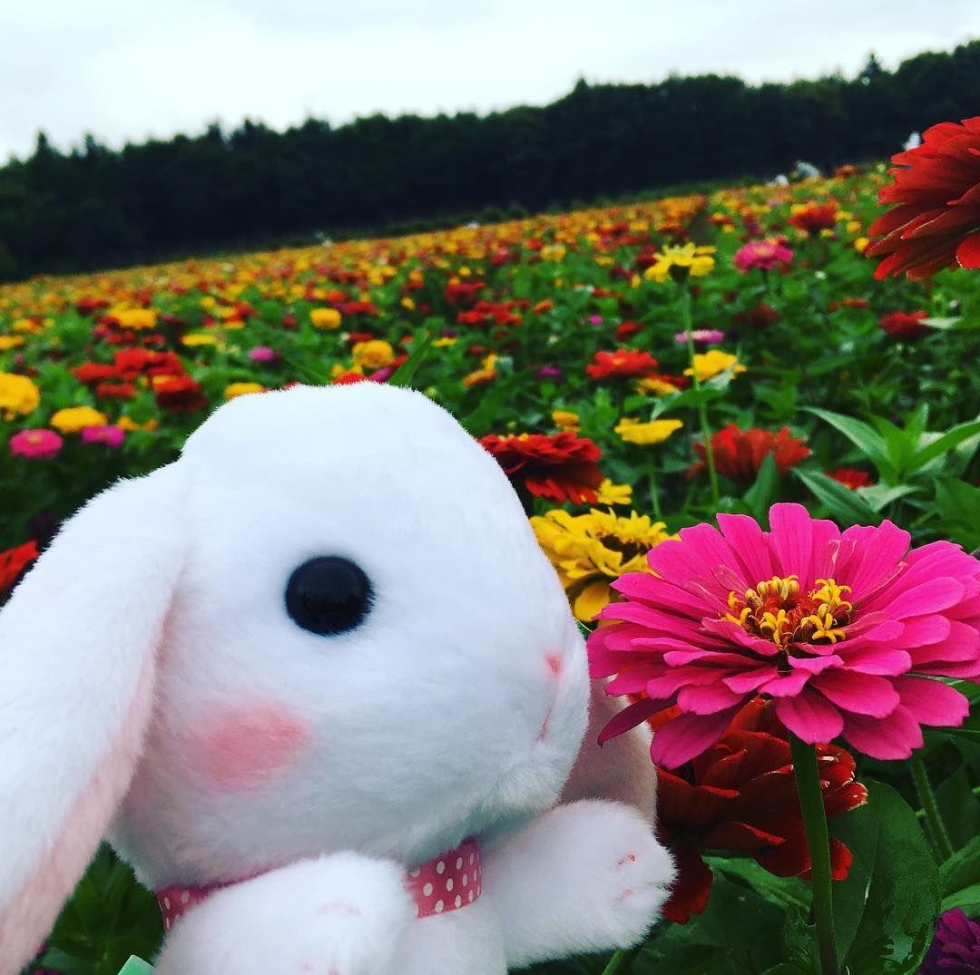 しろっぴー百日草が気になるみたいですin山中湖花の都公園 ぽてうさろっぴー しろっぴー ぬい撮り うさぎ 花 百日草 Rabbit 山中湖花の都公園 きれい かわいい ロップイヤー Cute Happy 百日草 かわいい うさぎ