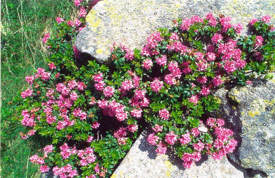 Risultati immagini per rododendro
