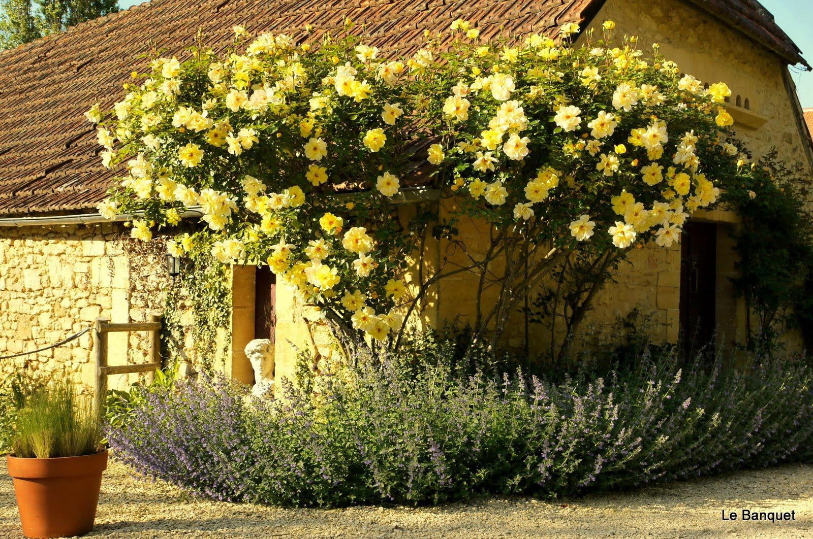 Rosa \'Golden Showers\' - Climber | Plants in Mary\'s Garden ...