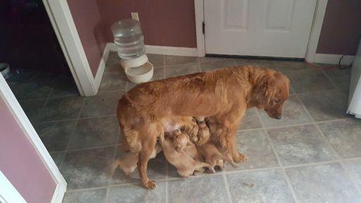 Litter of 9 Golden Retriever puppies for sale in BRUNSWICK