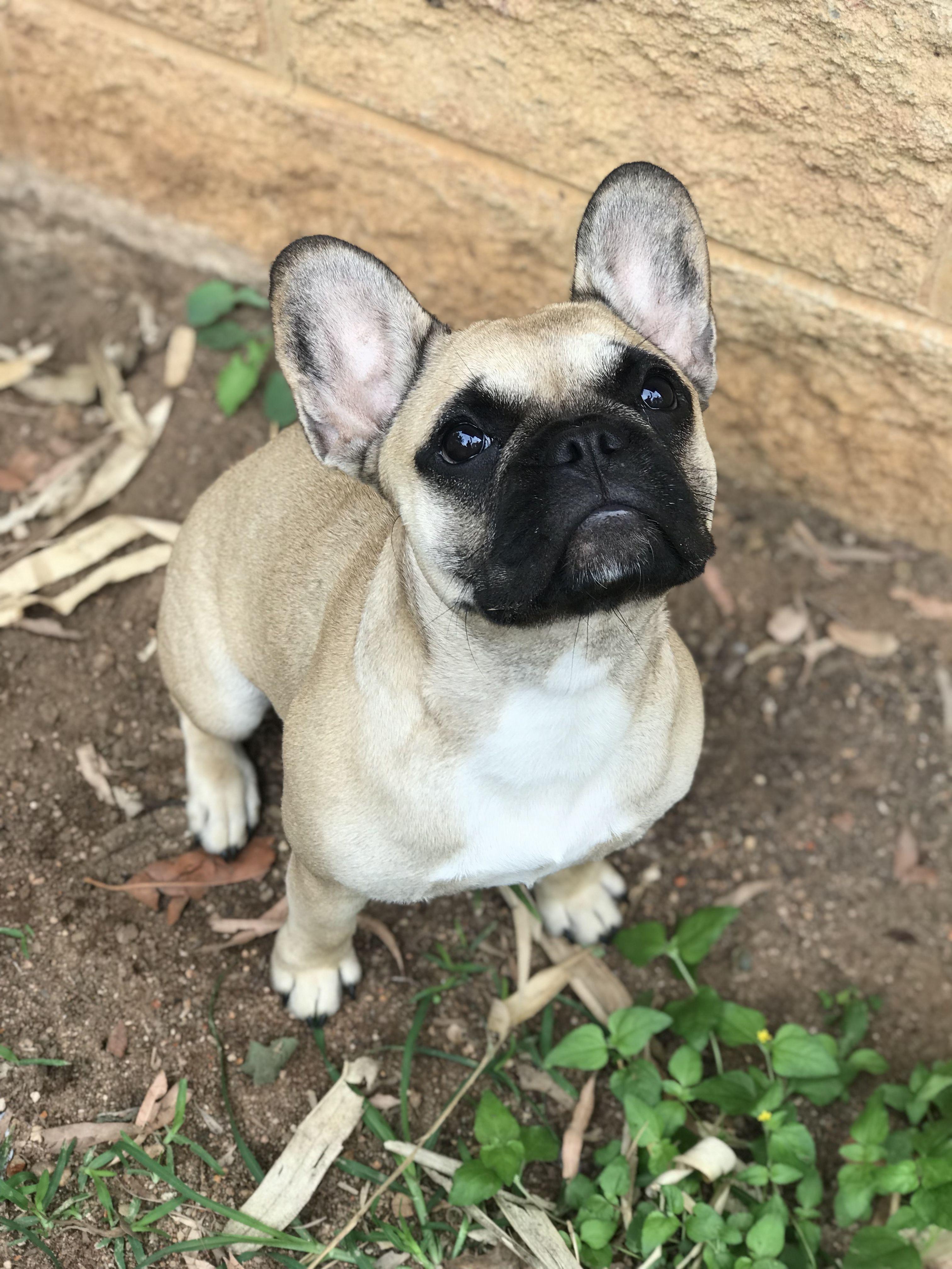 Pin By French Bulldog Breeder Australia On