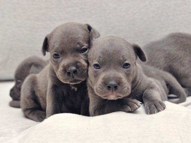 Staffordshire Bull Terrier Purebred Puppies English Blue Pitbull