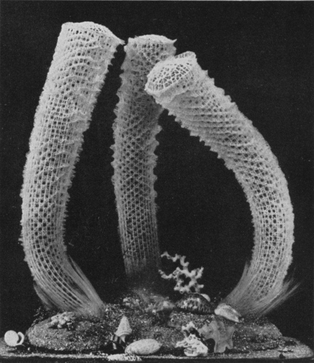 VENUS FLOWER BASKET (EUPLECTELLA) Sea sponge, Flower