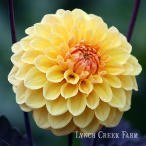 Midnight Sun October Flowers Dahlia Midnight Sun