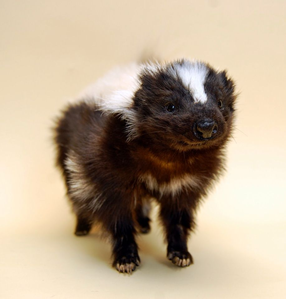 Posable soft mount taxidermy skunk.