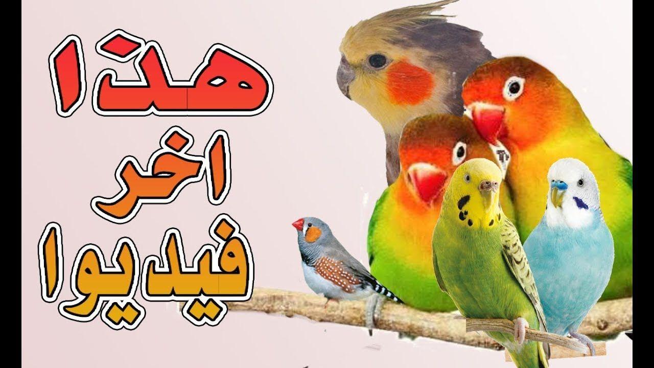هل جربت عضة هذه الطيور من قبل شعرت بالدوخان في اخر الفيديوا هدا هو Parrot Birds Animals