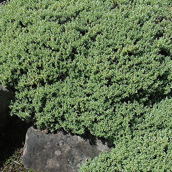Verónica Pinguifolia (Hebe) bol-35   Multiplant