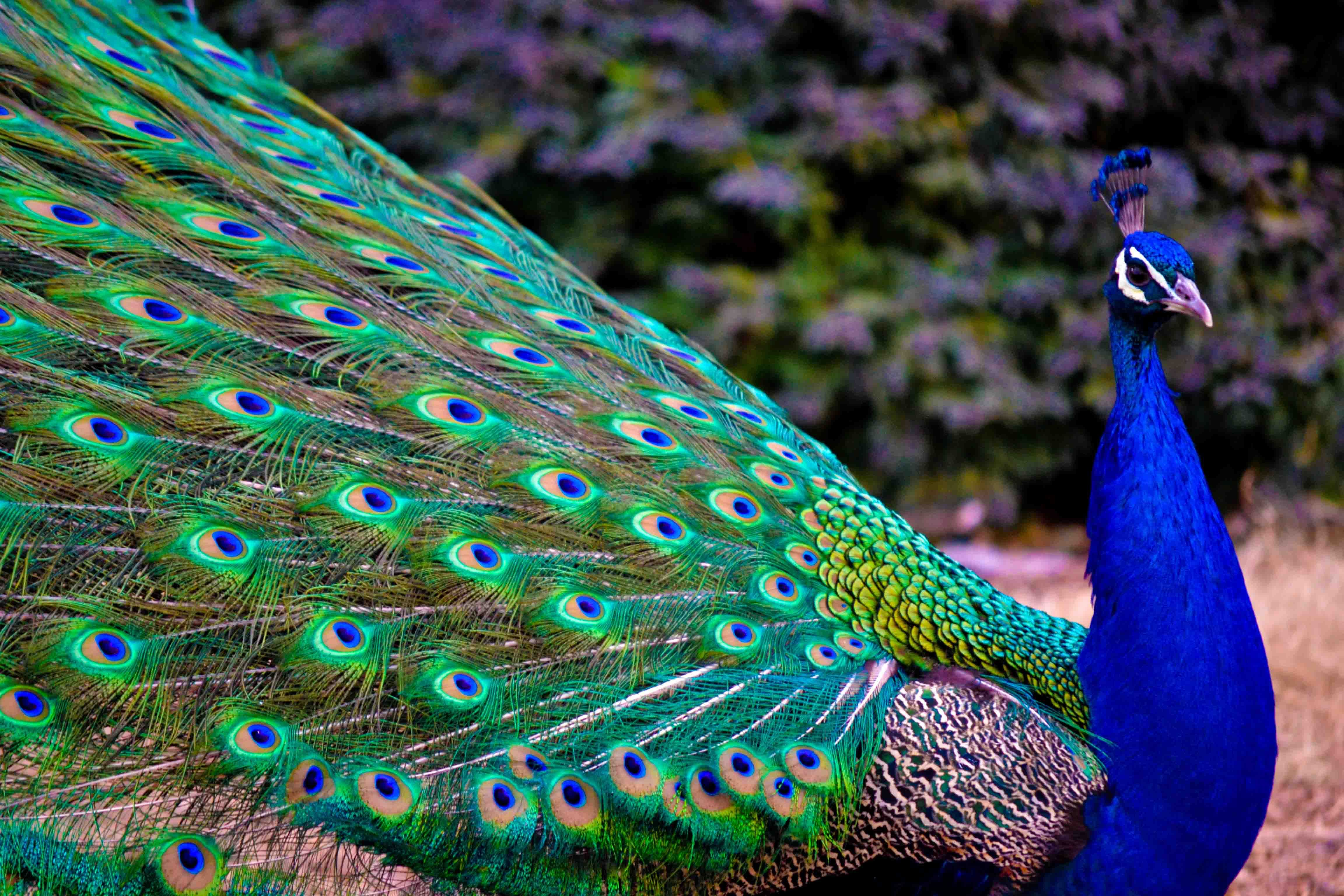 Wallpaper download new latest - Latest Peacock Hd Wallpapers Free Download New Hd Wallpapers Download