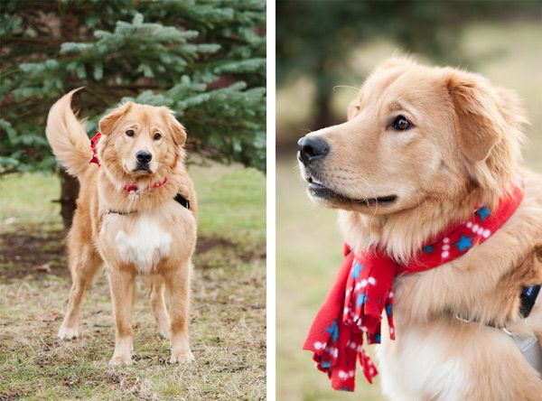 13 Gorgeous Golden Retriever Mixes You Just Have To See