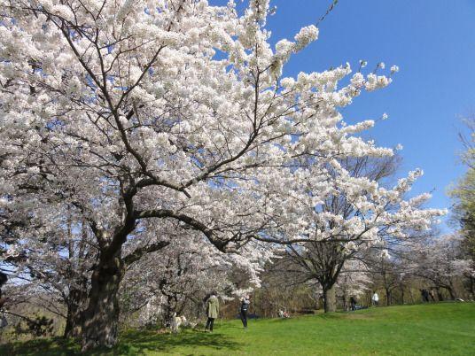 Cherry Blossom High Park In Toronto Yoshino Cherry Tree Cherry Blossom Blossom