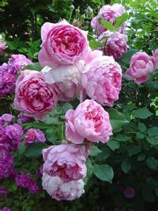 Ingenious Mr Fairchild Peony Like Rose