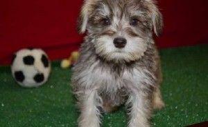 Miniature Schnauzer Puppies For Sale Uk Cute Baby Animals