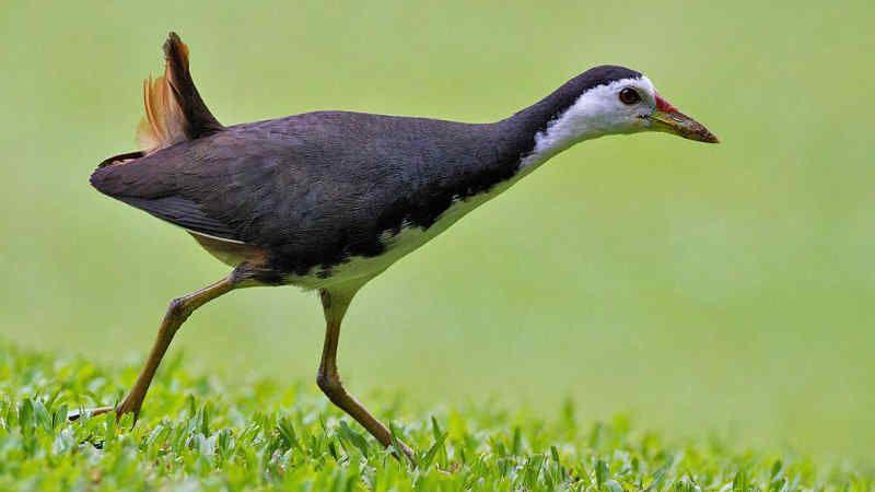 Download Suara Burung Ruak Ruak Pikat Mp3 Terbaru Burung Berburu Burung Binatang