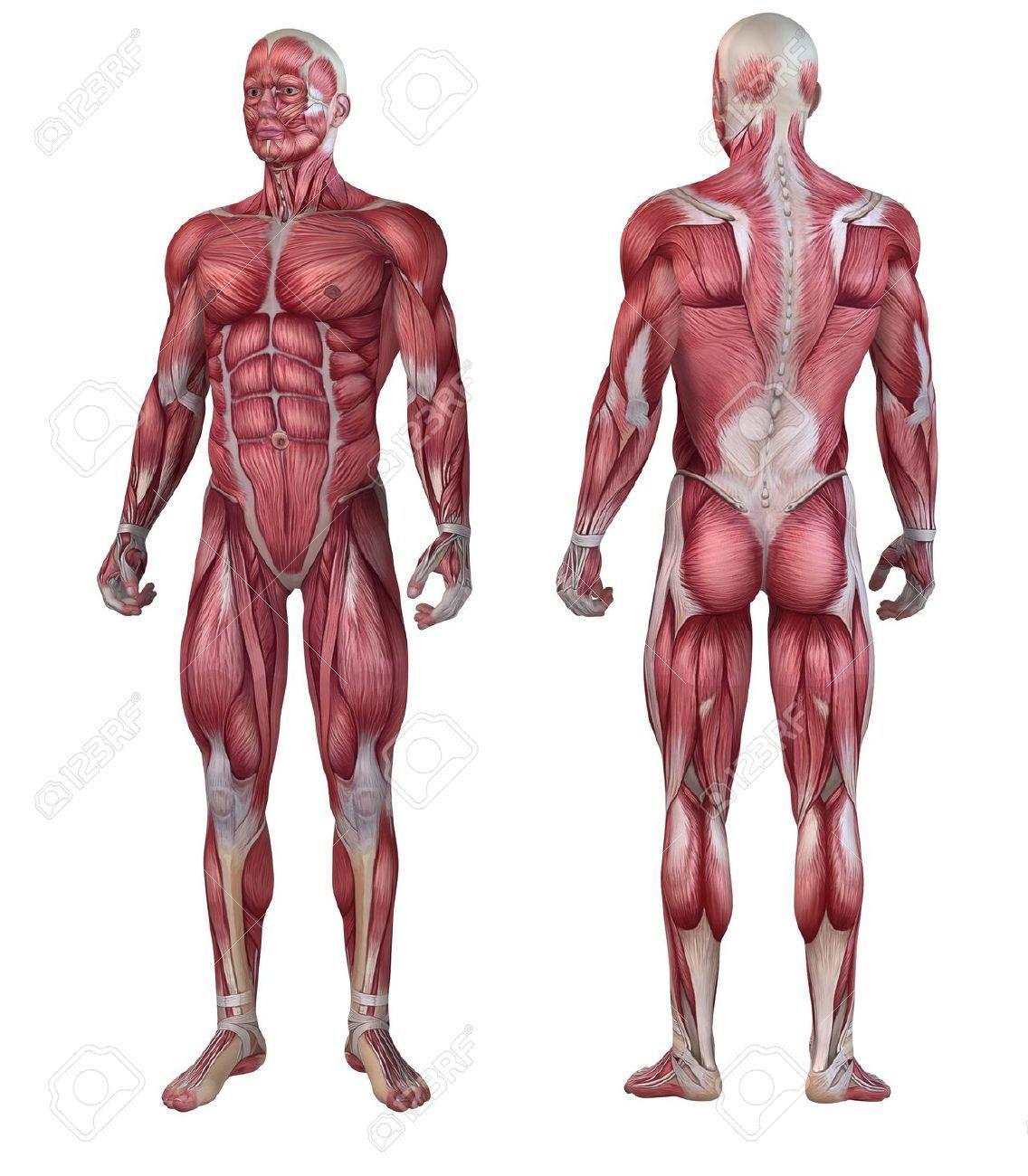 Sistema muscular masculino. | Anatomía Humana. Human anatomy ...