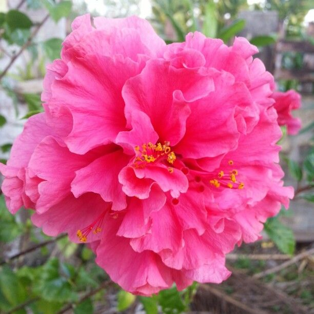 Guatamala....double/triple hibiscus? | Flower photos ... |Triple Hibiscus