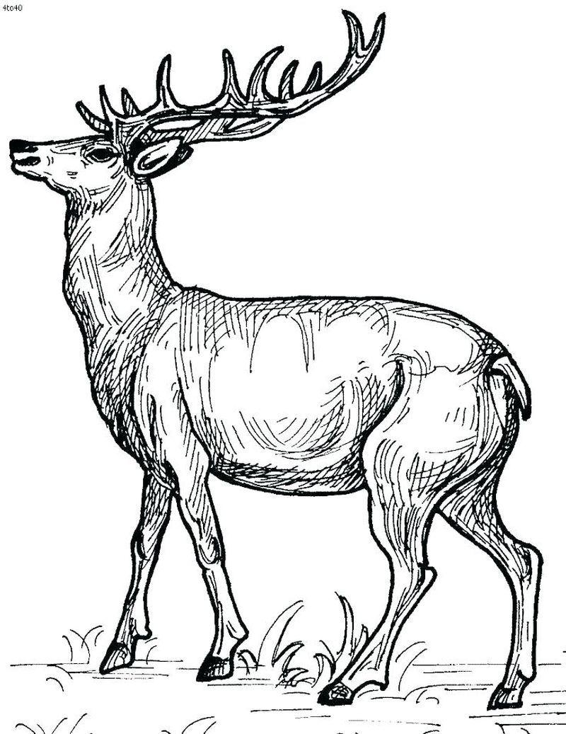 Printable Deer Coloring Pages (PDF Download) - Free ...