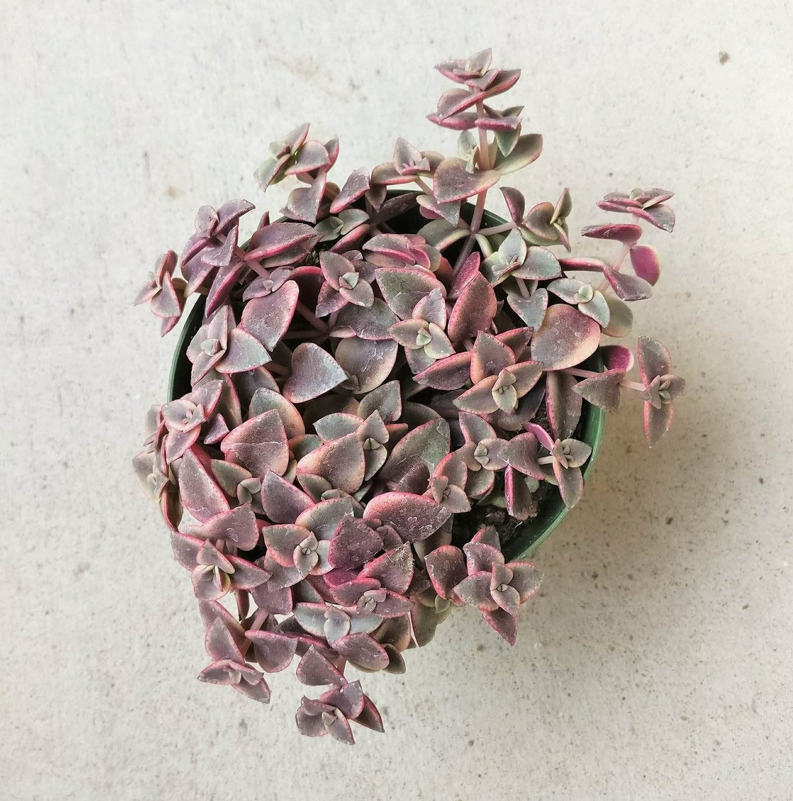 Calico Kitten Crassula Calico Kitten Succulents Succulents For Sale