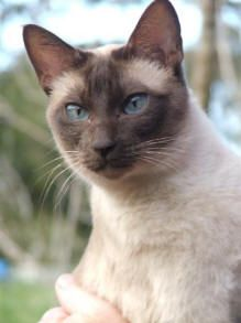 Nature Breaks Through The Eyes Of A Cat Irish Proverb Tonkinese Cat Cat Breeds Tonkinese Kittens
