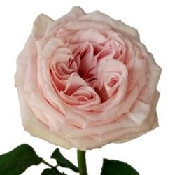 Pink O Hara Roses Garden Rose Bicolor White And Pink Ohara They