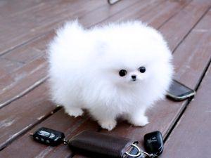 Micro Mini Pomeranian Cute Animals Niedliche Hunde Teacup Hunde