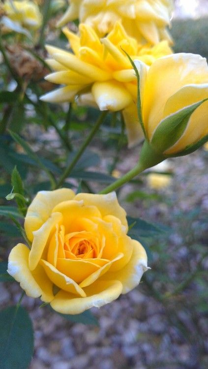 Love Garden Roses: Imgend. Love Yellow Roses!
