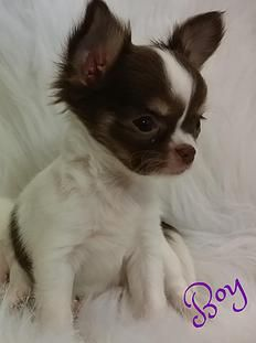 Bg S Chihuahua Louisiana Chihuahua Puppies For Sale Chihuahua