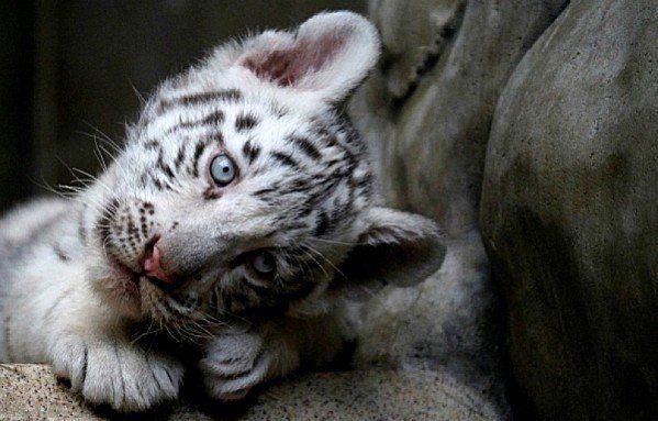 Feline Photos Bebe Animaux Bebe Tigre Bebes Animaux