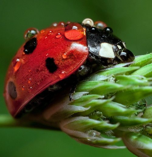 How To Get Rid Of Aphids Organically Use Ladybugs Like This