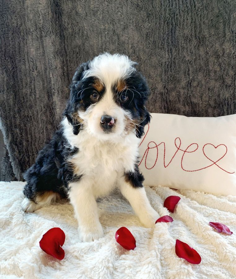 Puppies For Sale Bernedoodle Puppy Puppies Lancaster Puppies