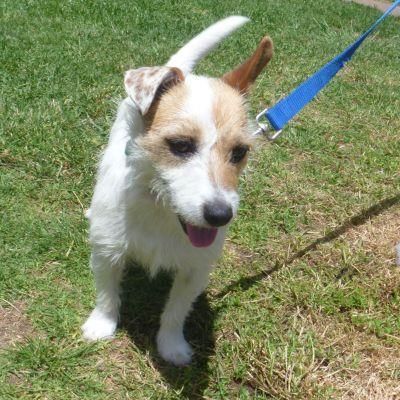 Adoption Search Results Losing A Dog Jack Russell Jack Russell Terrier