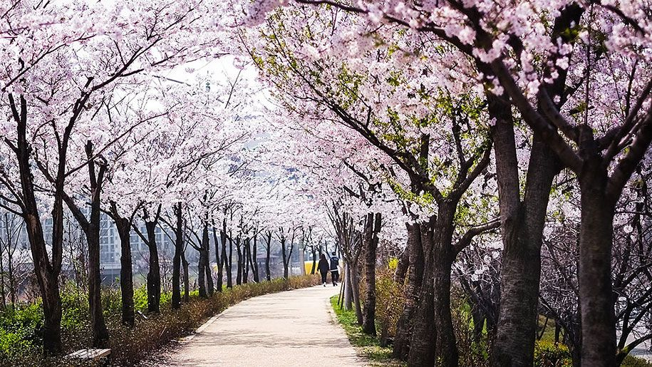 20 Of The Best Pictures Of This Year S Japanese Cherry Blossoms Japanese Cherry Blossom Japanese Cherry Cool Pictures
