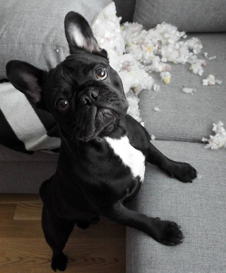 Nope Not Me Didn T Do It Suspicious French Bulldog Puppy