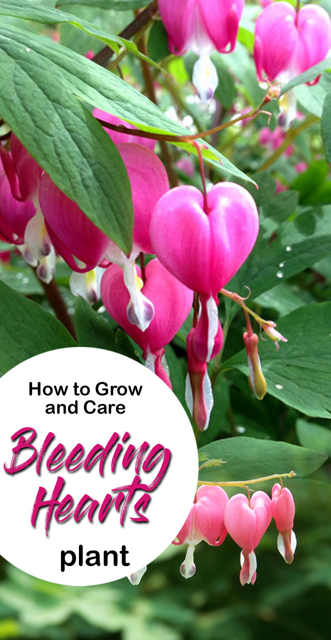 How To Grow And Care Bleeding Hearts Plant Growing Bleeding Heart In Pot Bleeding Heart Plant Flower Care Bleeding Heart