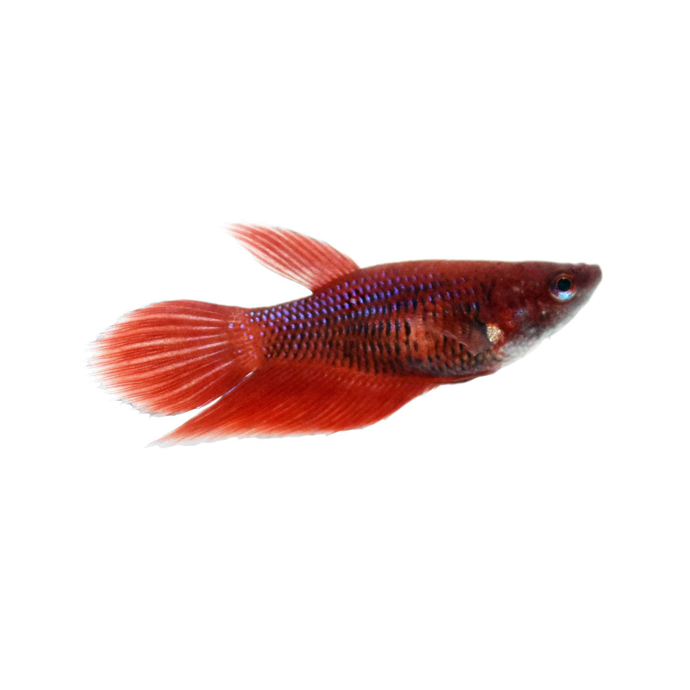 Red Female Veiltail Betta Fish For Sale Order Online Petco In 2020 Betta Fish Tropical Freshwater Fish Betta