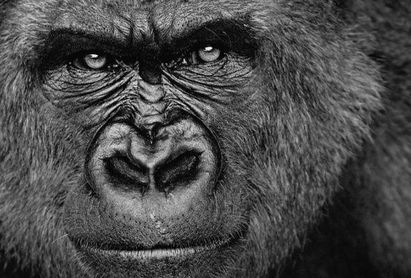 Gorilla Poisk V Google With Images Gorilla Wallpaper