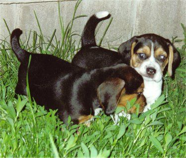 Shadow The Black And Tan Beagle Puppy With His Tri Color