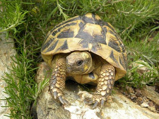 tortue d 39 hermann corse schildpadden turtles pinterest turtle tortoise and animaux. Black Bedroom Furniture Sets. Home Design Ideas