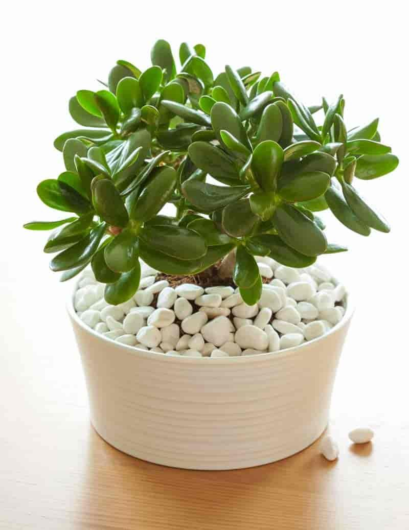 Types Of Succulents Pictures Included Jade Plants Best Indoor