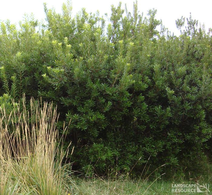 Pacific Wax Myrtle Myrica Californica For A Hedge Shade Plants Hedges Native Garden