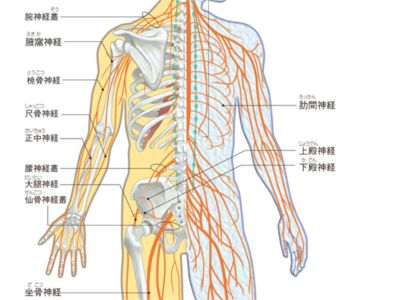 Gooヘルスケア筋肉名称図ヒトの体の筋肉の名前についてイラスト図