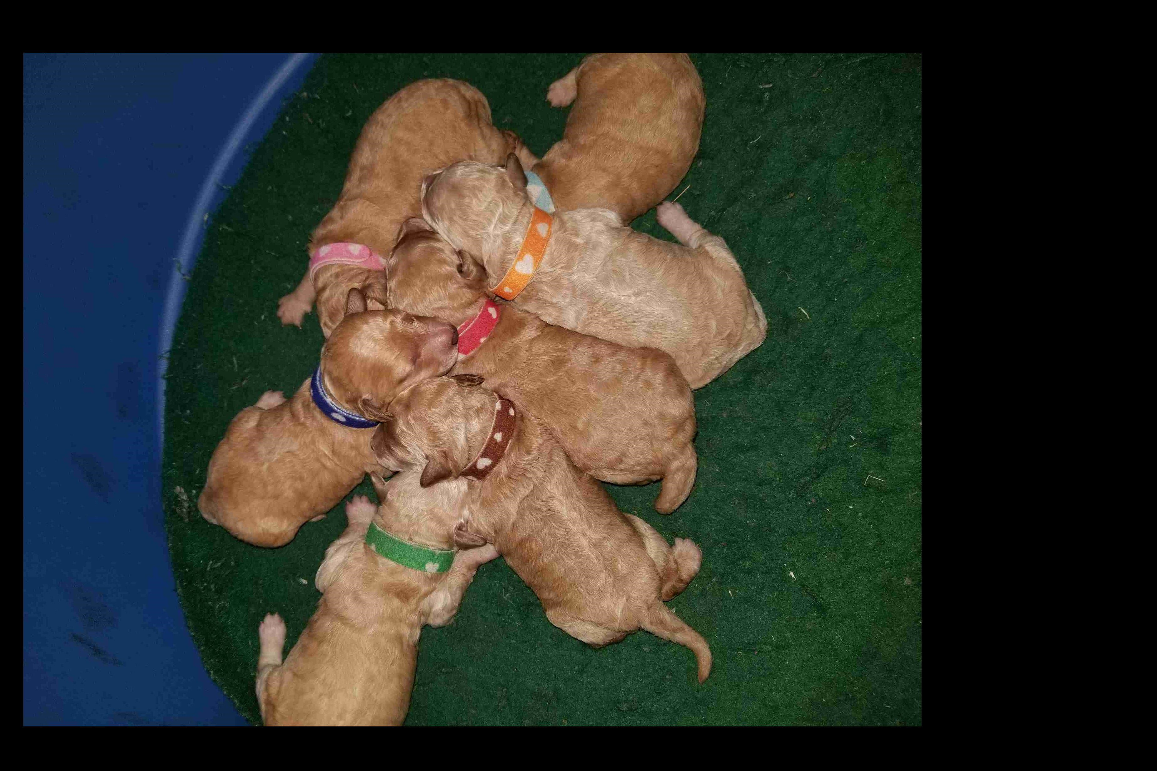Rosemel S Poodles Has Poodle Puppies For Sale In Reno Nv On Akc