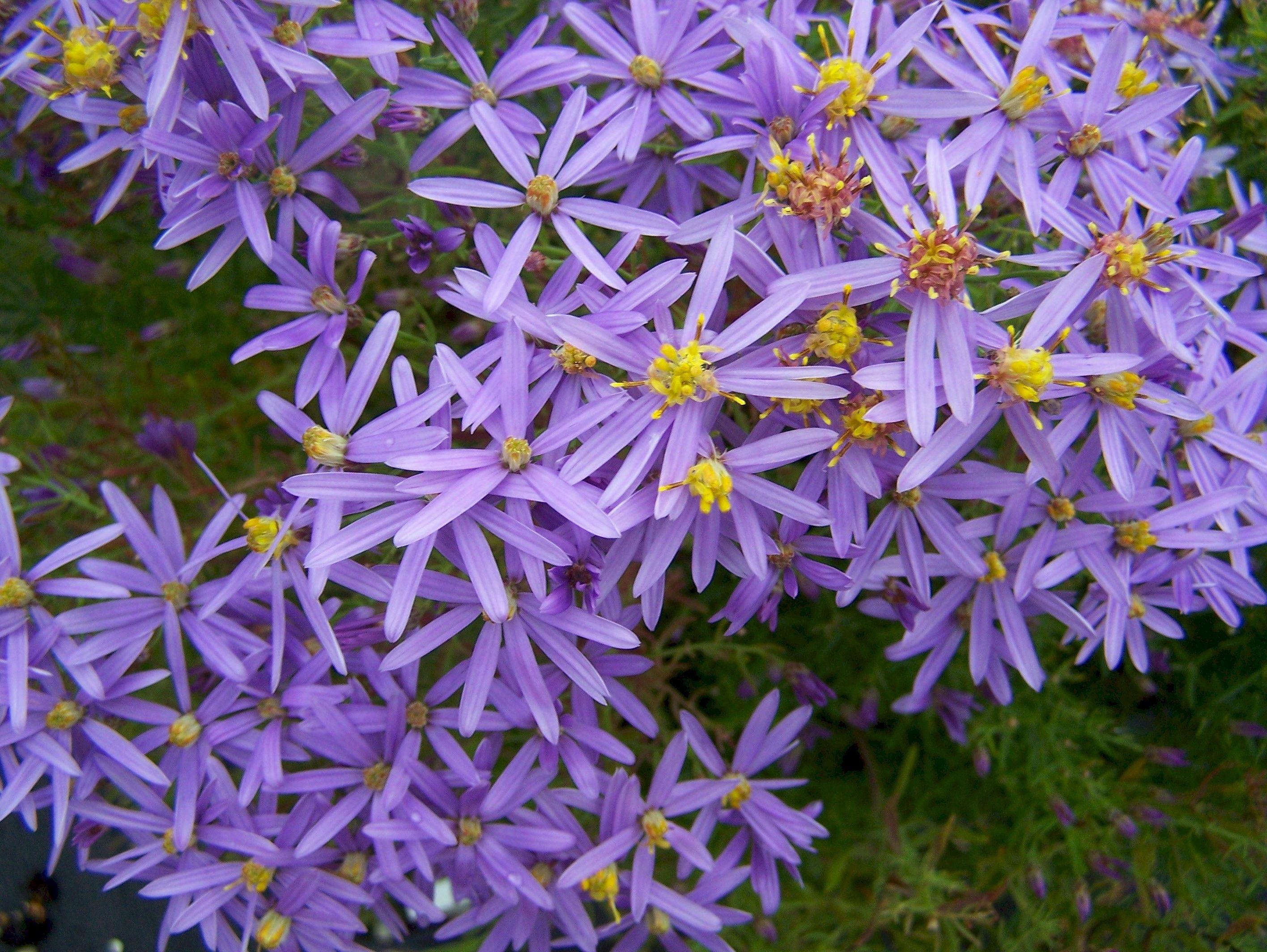 Margaritas De Colores En La Hierba 30995: -Asteraceae: Aster; Margaritas