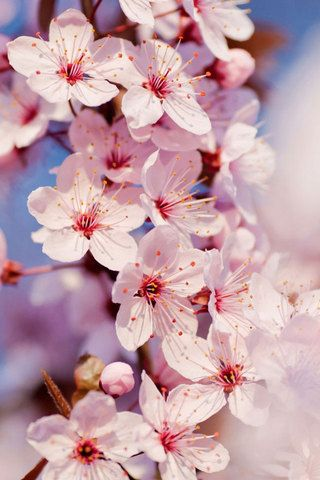 Cherry Blossom Iphone Wallpaper With Images Cherry Blossom