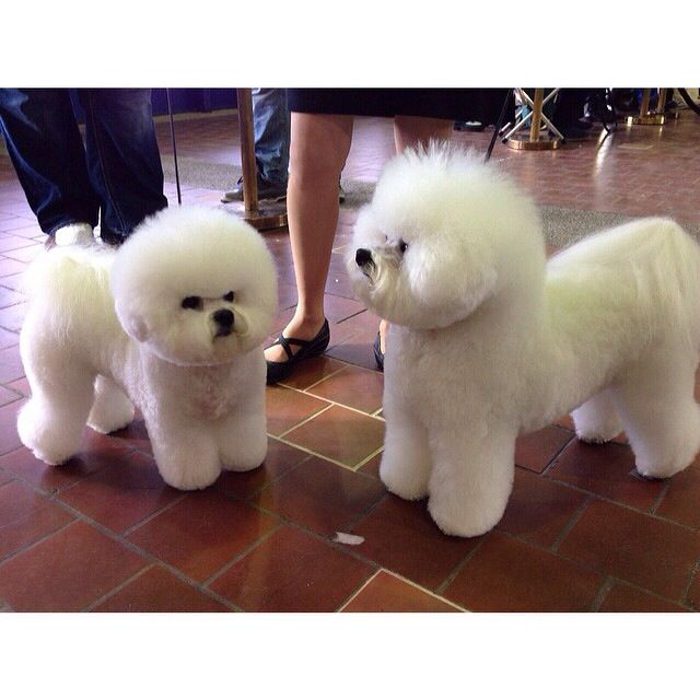 White Poodles Poodle Haircut Small Dogs Westminster Dog Show