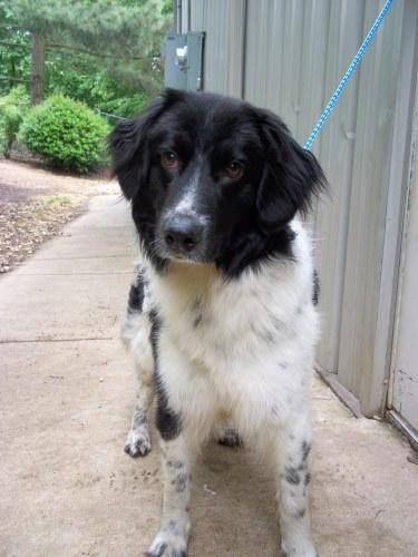 Wilson County Humane Society Puppy 1 Year Old Border Collie Mix