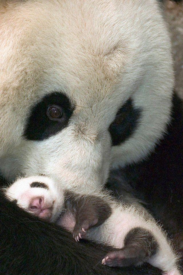 Newborn panda and mom - photo#36