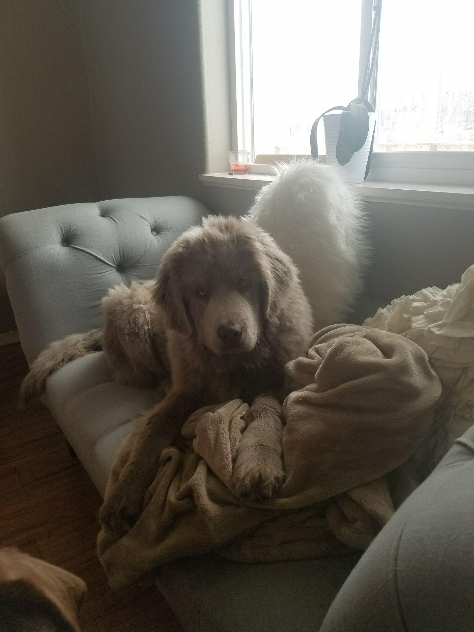 My Beige Grey Grumpy Newfoundland Golden Retriever Mix Puppies