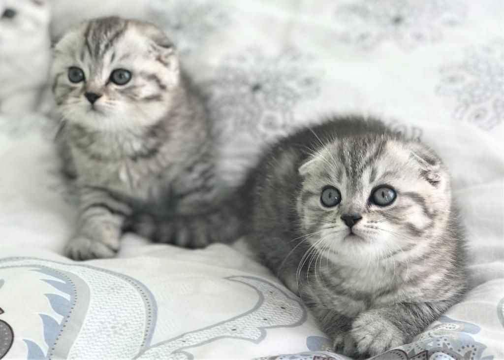 Silver Scottish Folds Cats Scottish Fold Kittens Cat Scottish Fold Munchkin Cat Scottish Fold