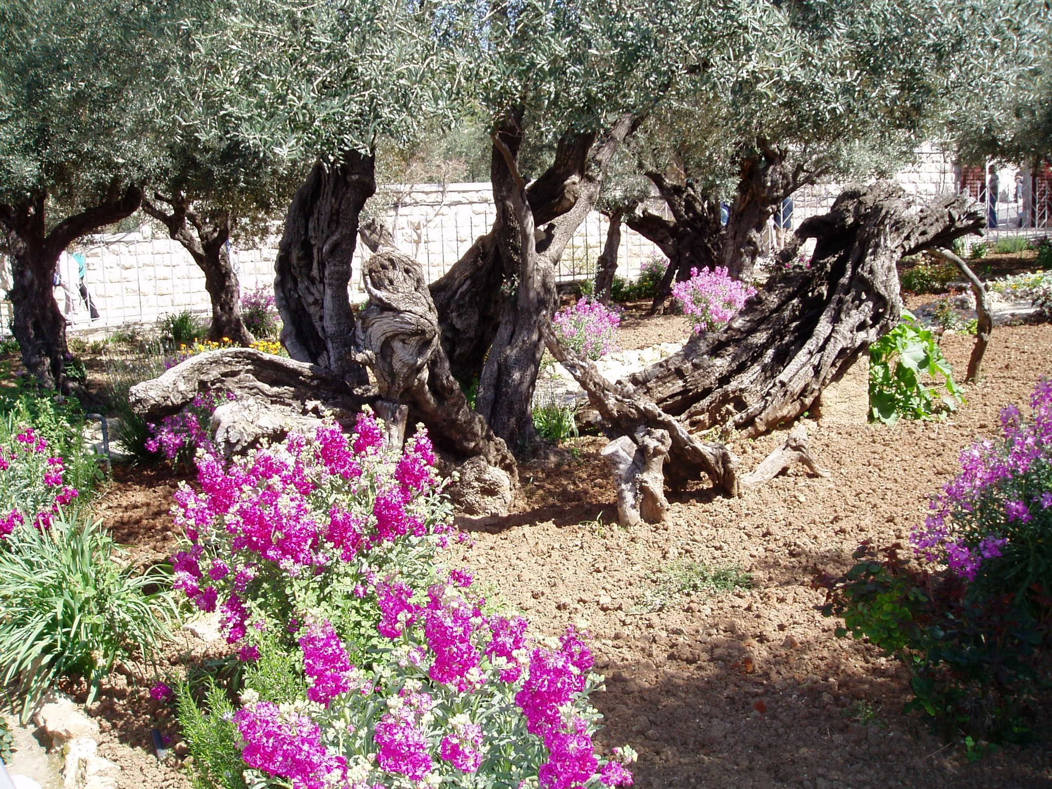 ancient olive tree in the garden of hsemane jerusalem